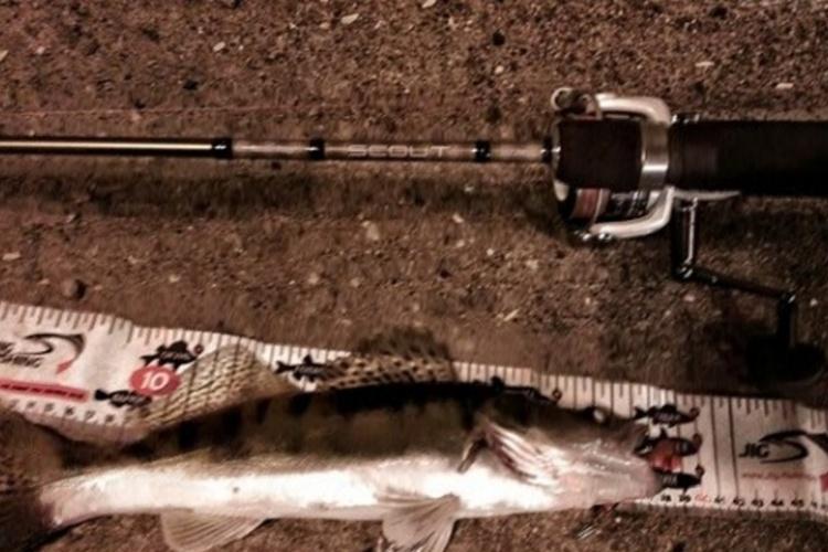 Судак - рыба ночи.
